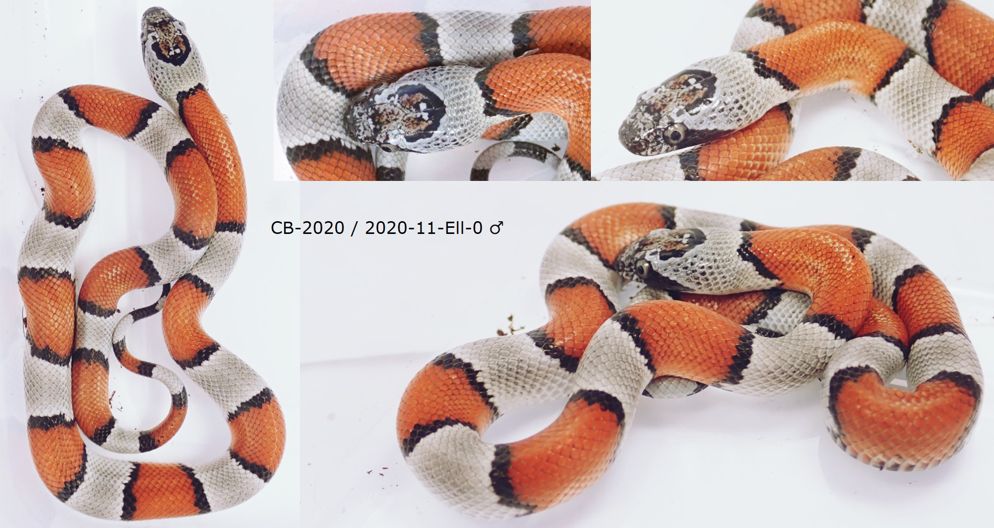 Lampropeltis alterna blairi Offspring 2020